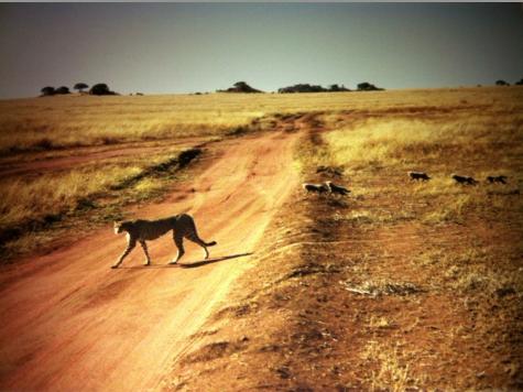 Cheetah, cheetah cubs, Africa, Serengeti, Throwback Thursday