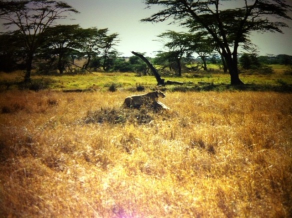 Lions, Lioness, Africa, Serengeti,