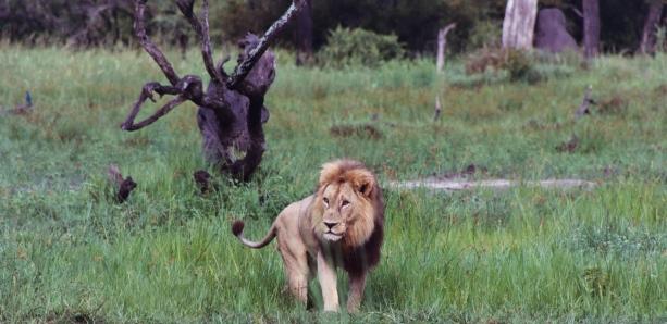 Lion, Moremi Game Reserve, National Park , Botswana, Okavango Delta