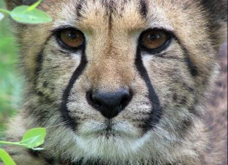 Africa, Cheetah, Big Cats, conservation