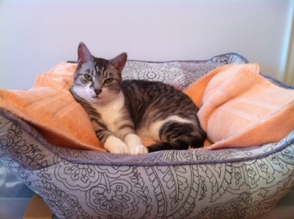 Cat, cute, cat beds, Spinner, Siver Tabby