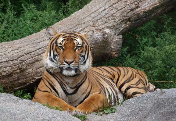 Tiger, Tiger Trade, China, Tiger bones, Killed for entertainment, asian medicine, stop tiger farms in China