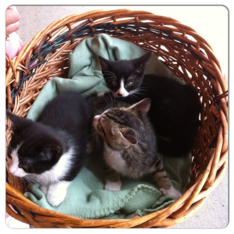 cats, kittens, basket, adopt, nueter, rescue,