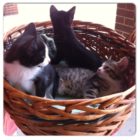 cats, kittens, rescue, adopt, spay, nuetuer, basket