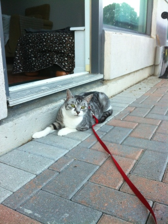cats, harness, leash, walking cats