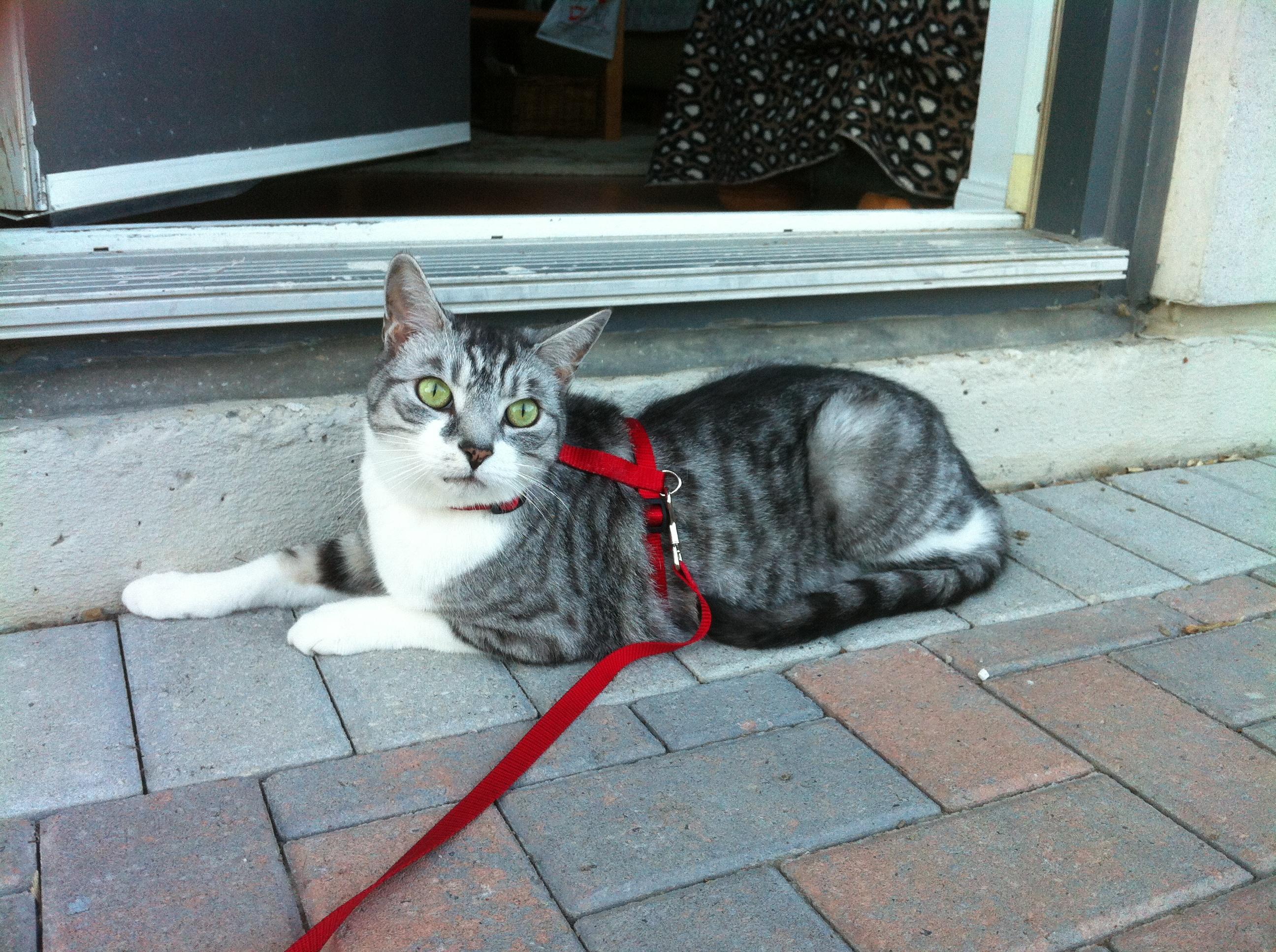 throwback thursday cat on a leash. Black Bedroom Furniture Sets. Home Design Ideas