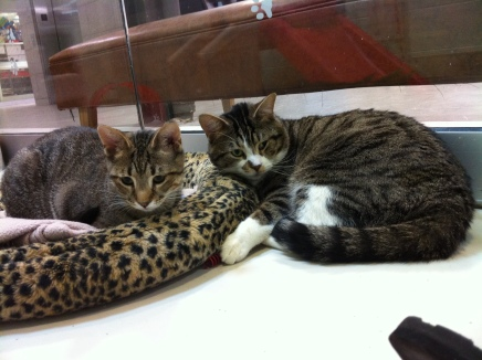 cats, adotion, bonded pair, Toronto Animal Services,
