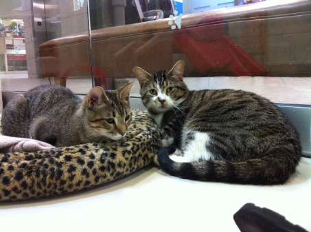 cats, kittens, Toronto Animal Services, adoption, save a life, rescue cats