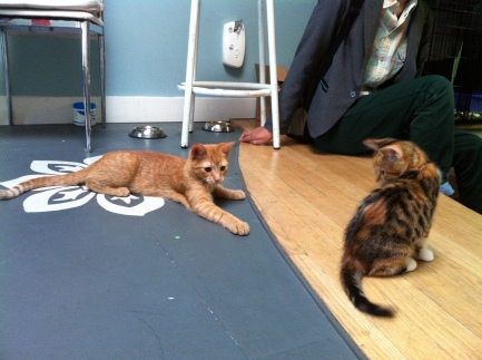 Kittens, Cats, Cat Cafe, Toronto, Pet Me Meow