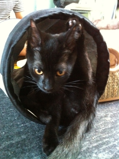 cats, kittens, black cats, pet me meow, cat cafe, toronto, adoption
