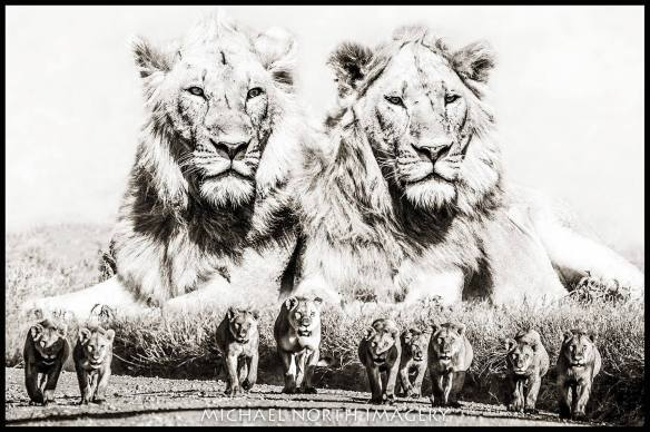 Lions, Global March For Lions, Campaing Against Canned Hunting, Ban Canned Hunting, ban trophy hunting, bigcats, South Africa, save lions