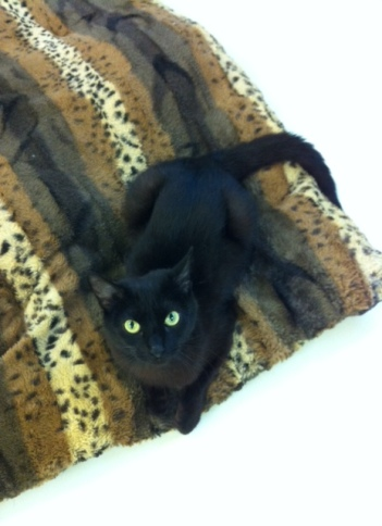 Black cats, Cats, Kittens, Toronto, Toronto Animal Services, adopt, volunteer, donate, foster, spay, neuter, rescue,