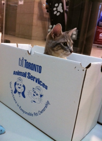 Cats, Kittens, Toronto, Toronto Animal Services, adopt, volunteer, donate, foster, spay, neuter, rescue,