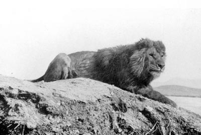 Barbary Lion, Extinct, North Africa Lions, Atlas Lions, Africa, Roman Empire, Gladiators, Collesium, ancient Lions, Lion hunting
