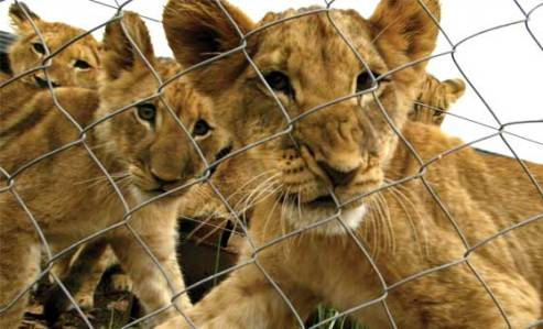 Lions, Ethical Tourism,  World Lion Day,Global March For Lions, Endangered, Extinction, Big Cats, Africa, South Africa, Canned Hunting, Trophy Hunting, Ban imports of Lion Trophies, USFWS, conservation, poaching,