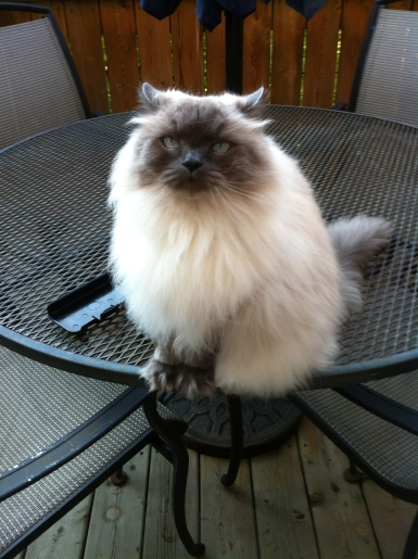 cats, Himalayan cats, cat sitting, felin friday, cat breeds, siamese, persian