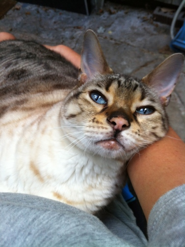 cats, Bengal Cats, Exotic, spotted cats, snow leopard bengal, snow leopars, mini leopards,