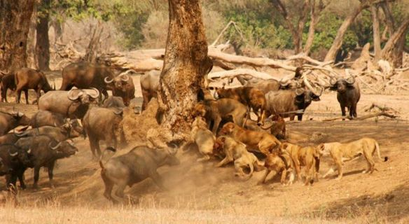 Lions, World Lion Day, Gorongosa National Park, Mozambique, Africa, conservation, Rob Janisch, Travel, Photography,wildlife
