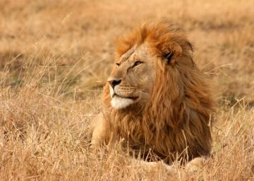 Lions, World Lion Day, Gorongosa National Park, Mozambique, Africa, conservation, Rob Janisch, wildlife