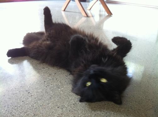 Cats, Black Cats, adopt, rescue, spay, neuter, I love black cats, Black cats are special, Beautful, cat sitting, Cuddles n Walks pet sitting