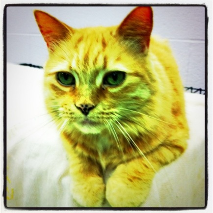 cats, kittens, volunteer, orange tabby cats, cat cuddler, Toronto Animal Services, foster, cat rescue, cat adoptions, donate