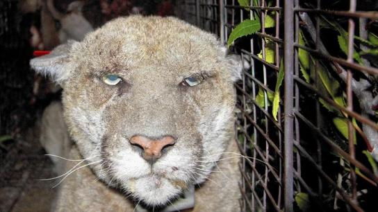 Steve Winter, Cougars, P22, Mountain Lions, Hollywood Hills cougar, Rat Poison, Rodenticides, Poison killig wildlife, Mange, North America's Big Cat, National Geographic photographer, Wildlife Photography, LA's elusive wildlife, Urban Wildlife
