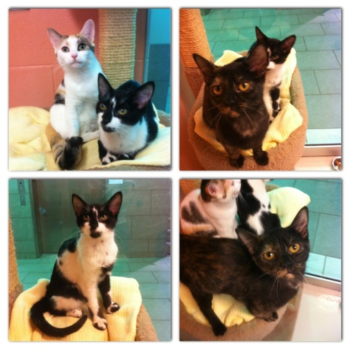 cats, kittens, volunteer, cat cuddler, Tortieshell cats, calico cats, Black and white cats, Toronto Animal Services, foster, cat rescue, cat adoptions, donate