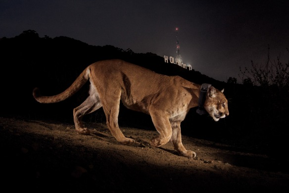 Steve Winter, Cougars, Mountain Lions, Hollywood Hills cougar, North America's Big Cat, National Geographic photographer, Wildlife Photography, LA's elusive wildlife, Urban Wildlife
