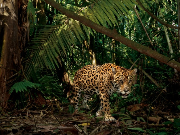 Steve Winter, Jaguars, Amazon, Brazil, Pantanal, rare big cats of South America, Endangered Jaguars,