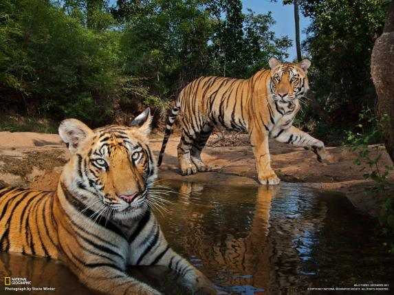 Steve Winter, Tigers Forever, Books, Amazon, Brazil, Pantanal, rare big cats, India, Endangered, Tigers, National Geographic, Photography, Nat Geo Live, Big Cats Forever