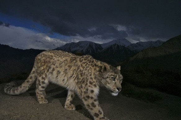 Snow Leopards, Steve Winter, Wildlife Photography, Natinal Geographic, Elusive big cats, cats, endangered snow leopard, Central Asia, mountains