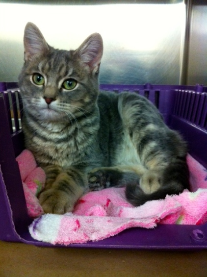 Cats, kittens, Toronto Animal Services, Adopt a cat, Grey Tabby cats, Cat rescue, Adopt don't shop, Volunteer, foster, Animal Shelter, Toronto
