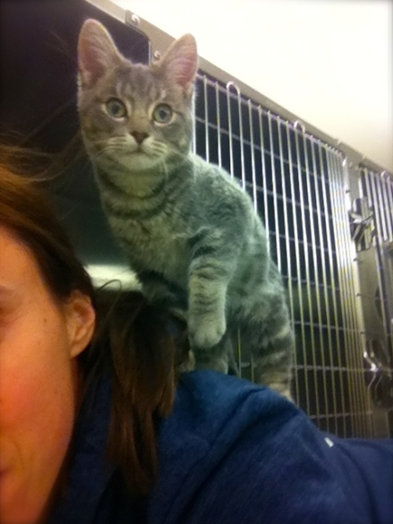 Cats, kittens, Toronto Animal Services, Adopt a cat, Grey Tabby cats, Cat rescue, Adopt don't shop, Volunteer, foster, Animal Shelter, Toronto, cats like high places