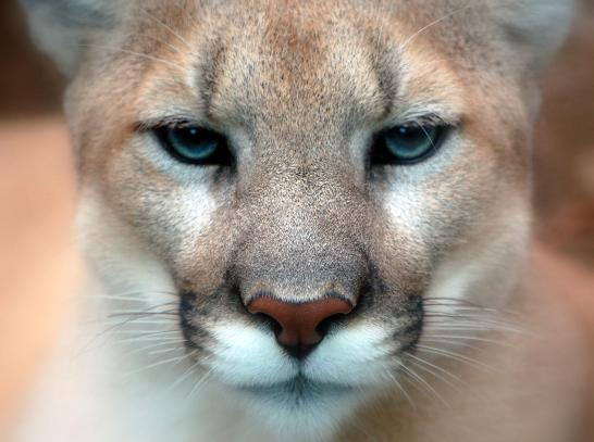 Cougars, Mountain Lions, Pumas, Americas Lion, Save Mountain Lions, Big cats of North America, Mountain Lion Foundation, Endangered cats of North America, Mountain Lion Video, Wildlife photography, Living in harmony with wildlfe, conservation