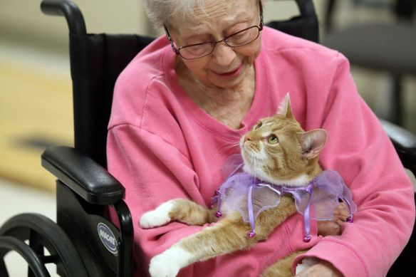Orange Tabby cats, Cats, Therapy cats, Tendercare of Westwood assisted living Facility, Kalamazoo Michigan, SPCA, Rescue cats, Cat are beneficial to helping people heal, Benefits cats healing properties, Animals as healers, Nursing homes with cats, Old age homes with Therapy cats