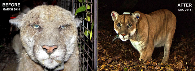 Mountain Lions, Cougars, Hollywood Hills Cougar, Steve Winter, Big Cats, Wildlife, rat poison, Pumas, P-22, Griffith Park, Los Angeles, Save LA Cougars, The Cat That Changed America