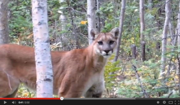 Cougars, Mountain Lions, Pumas, Americas Lion, Save Mountain Lions, Big cats of North America, Endangered cats of North America, Mountain Lion Video, Wildlife photography, Living in harmony with wildlfe, conservation