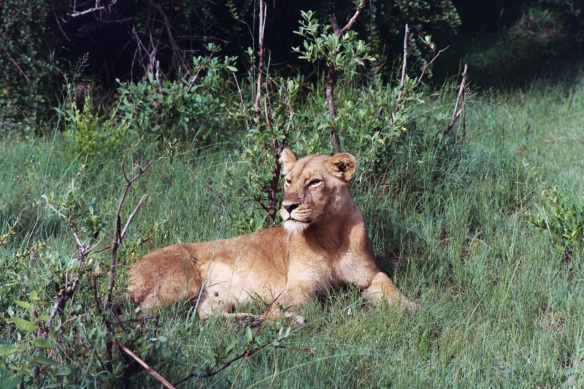 Lions, Africa, Botswana, Lion cubs, Save Lions, Ban Trophy Hunting, Ban Canned Hunting, No cub petting, No walking with Lions, Lions belong in the wild, African Lion Endangered, Extinction is forever. Ethical Toursim, Lions are not Trophies, Lioness in the grass