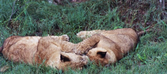 Lions, Africa, Botswana, Lion cubs, Save Lions, Ban Trophy Hunting, Ban Canned Hunting, No cub petting, No walking with Lions, Lions belong in the wild, African Lion Endangered, Extinction is forever. Ethical Toursim, Lions are not Trophies
