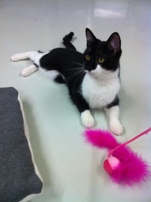 cats, Black and white cats, tuxedo cats, kittens, Toronto, Toronto Animal Services, Cat Adoption,  Spay, Neuter, cat rescue, cats are for life, cat whiskers, cat toys, feather toys, The Letter F