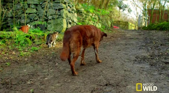 cats, Blind Dogs, Stray Cats, Nat Geo Wild, Best Friends, Animal Loyalty, Cats and Dogs, Cat Videos, Assitance Animals, Tervel, a blind and partially deaf senior chocolate Lab used to feel like he was in a lonely world of his own until he became friends with Pudditat