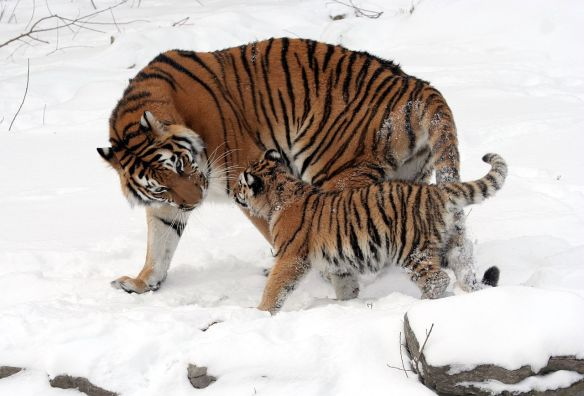 Tigers, Amur Tigers, Family Portrait of Amur Tigers, First ever photo to include an an adult male Amur tiger, Russia, Sikhote-Alin Biosphere Reserve, Wildlife Conservation Society, Endangered Tigers, Wildlife conservation, Save Tigers, Stop poaching of TIgers, Save Tiger Habitat,Tigers in China, China's Tiger Bone Trade, TIgers in Russia, Illegal Tiger Skin Trade, TCM breeding Tigers to die