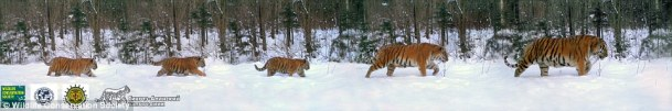 Tigers, Amur Tigers, Family Portrait of Amur Tigers, First ever photo to include an an adult male Amur tiger, Russia, Sikhote-Alin Biosphere Reserve, Wildlife Conservation Society, Endangered Tigers, Wildlife conservation, Save Tigers, Stop poaching of TIgers, Save Tiger Habitat