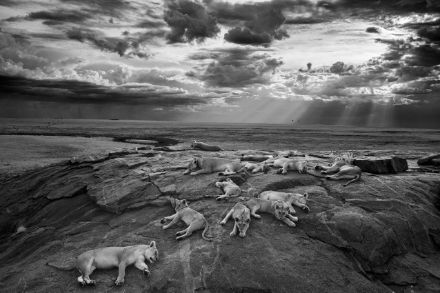 Michael 'Nick' Nichols, USA, Wildlife Photographer of the Year, Natural History Museum, BBC Worldwide, Lions, The Vumbi pride , Tanzania, Serengeti National Park , Lioness, Lion Cubs, Kopje, Rocky Outcrop, Wildlife Photography, Africa, Save Lions, Ban Canned Hunting, Ban Trophy Hunting, Lions are not trophies, Ethical Tourism, Voice for the pride, Big Cats Forever, National Geographic, Save Habitat, Stop Poaching of Lions, Learn to Live with Wildlife, Apex predators,