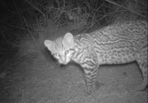 Wildlife crossings, Highway crossings for wildlife,Texas,Ocelots, Dwarf Leopards, Endangered Little cat, Leopardus pardalis, Ocelot Conservation Day, Rare Cats, Ocelots in Texas, Ocelots in Arizona, Laguna Atascosa National Wildlife Refuge, Habitat Loss, Rare Ocelot Kittens,