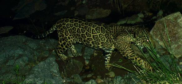 Only known Jaguar in the US, Jaguars, Ocelots, Endangered Little cat, Leopardus pardalis, Ocelot Conservation Day, Rare Cats, Ocelots in Tuscon Arizona, Ocelots near the Rosemont Copper Mine, Ocelots in Arizona, Ocelot halts plan for copper mine
