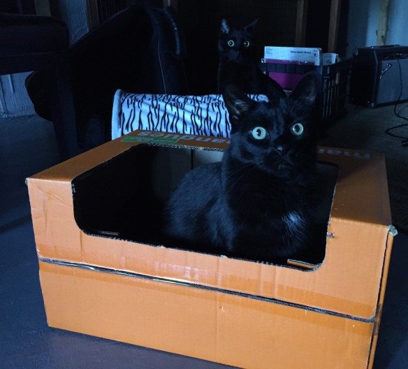 cats, black cats, cats and boxes, cats in boxes, orange boxes, cat sitting, wordless wednesday, cats of the internet, black cats are awesome, i love black cats, two black cats are better than one
