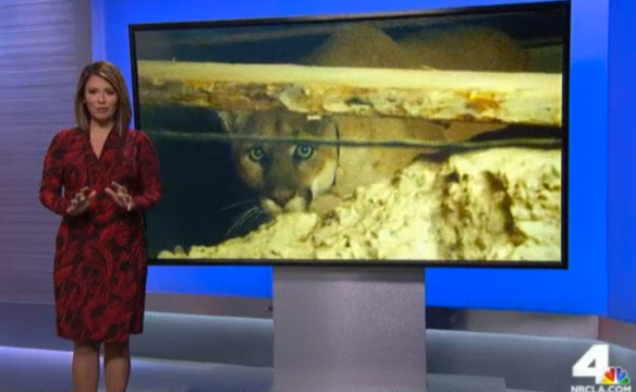 Cougars, Mountain Lions, Hollywood Hills cougar, North America's Big Cat,  LA's elusive wildlife, Urban Wildlife, Save LA Cougars, Wildlife Crossings, Wildlife crossing in California, Highway 101, Santa Monica Mountains, Los Angeles, P-22, NBC LA new report