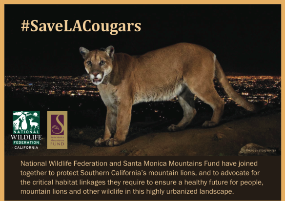 Steve Winter, Cougars, Mountain Lions, Hollywood Hills cougar, North America's Big Cat, National Geographic photographer, Wildlife Photography, LA's elusive wildlife, Urban Wildlife, Save LA Cougars, Wildlife Crossings, Wildlife crossing in California, Highway 101, Santa Monica Mountains, Los Angeles, P-22, LA Times, National Wildlife Federation, California