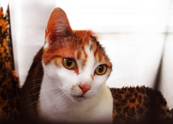 Cats, Rescue Cats, Cats with one Ear, Van Gogh, Van Gogh the cat, Cat that Paints, post-impressionist cat,  Mayhew Animal Home, London, UK, Rescue Cats UK, Adopt cats, Adopt cats in the UK, Special Needs cat, calico cats, Moggy, One eared Moggy,